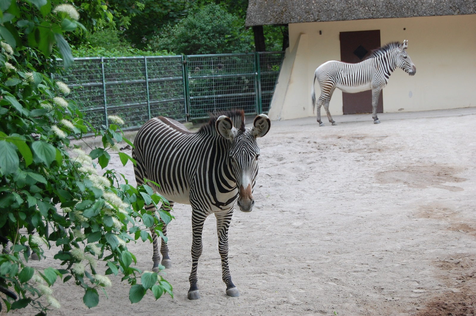 Frankfurt Zoo, Germany, Zebras