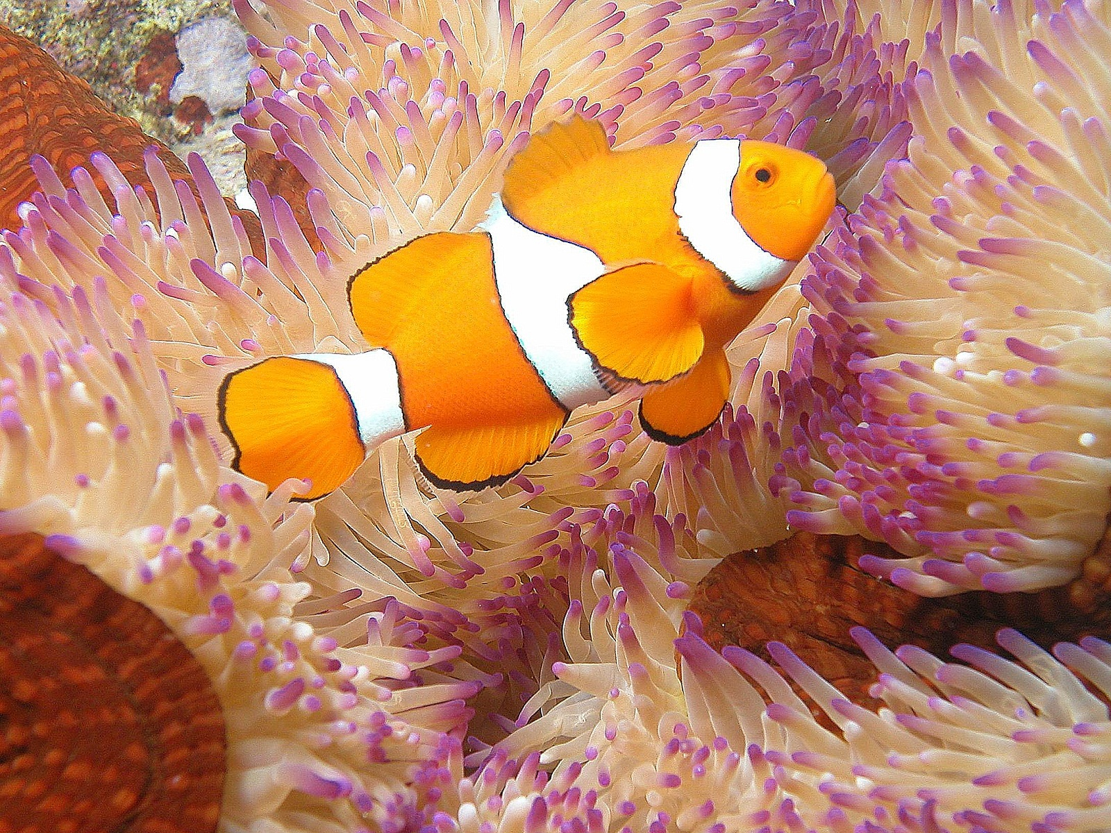 Great barrier reef australia clownfish and anemone 308 for Clown fish facts