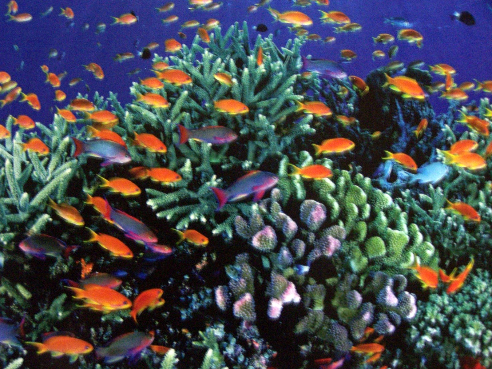 Great Barrier Reef Australia Colorful Fish And Corals
