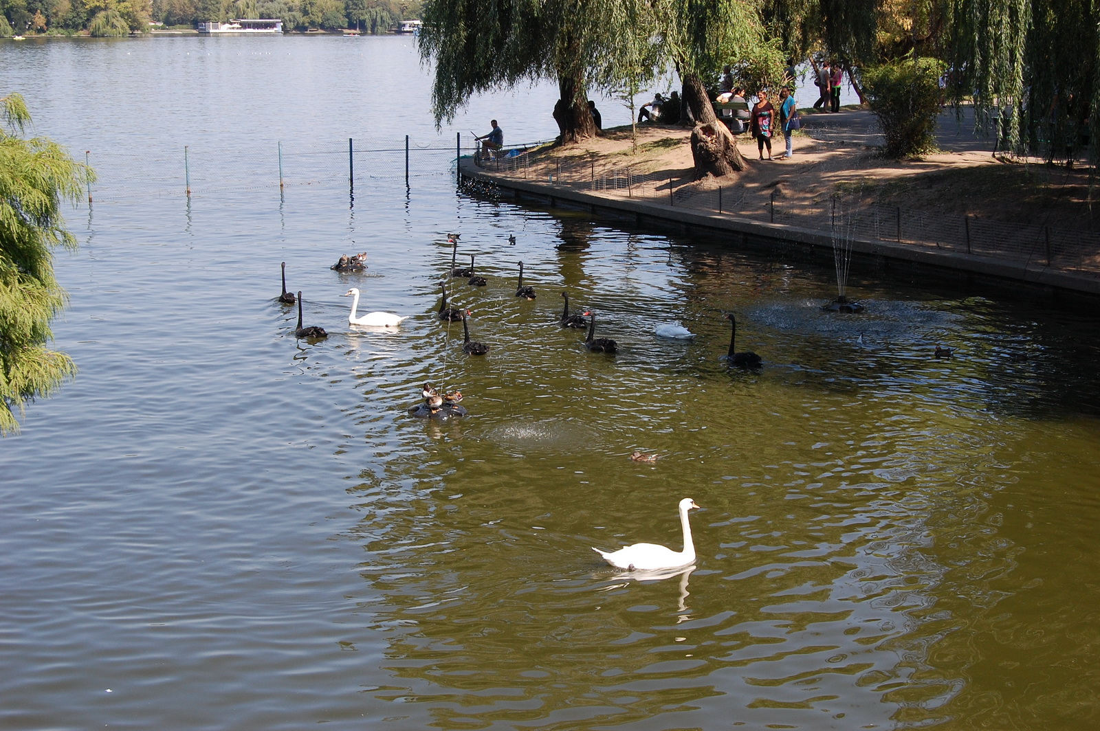 Herastrau Park, Bucharest, Romania, Swans on the Lake
