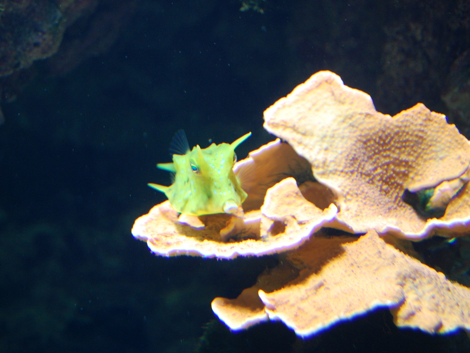 Vienna Schonbrunn Zoo, Austria, Aquarium, Cowfish