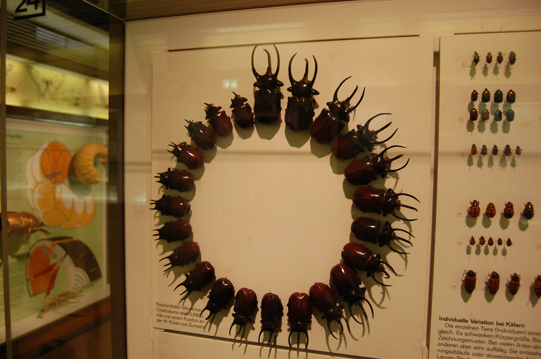 Senckenberg Museum, Frankfurt, Germany, Rhinoceros beetle growth stages