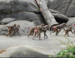 Frankfurt Zoo, Germany, Baboons