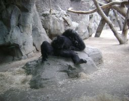 Frankfurt Zoo, Germany, Gorilla