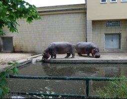 Frankfurt Zoo, Germany, Hippo