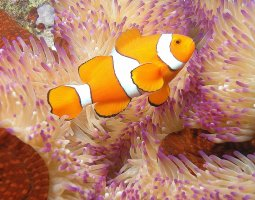 Great Barrier Reef, Australia, Clownfish and Anemone