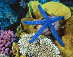 Great Barrier Reef, Australia, Blue Starfish