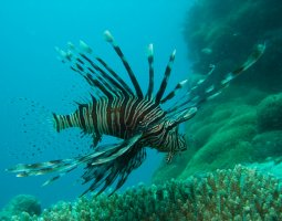 Great Barrier Reef, Australia, Brown Lionfish