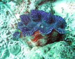 Great Barrier Reef, Australia, Giant Clam