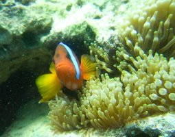 Great Barrier Reef, Australia, Clownfish hiding