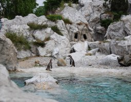 Vienna Schonbrunn Zoo, Austria, Penguins at pool
