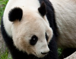 Vienna Schonbrunn Zoo, Austria, Giant Panda close