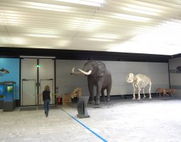 Senckenberg Museum, Frankfurt, Germany, Elephant evolution