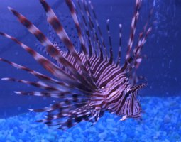 Great Barrier Reef, Australia, Purple Lionfish