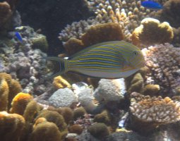 Great Barrier Reef, Australia, Surgeonfish
